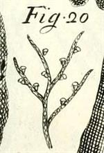 Pl. 86, fig. 20, Micheli (1729)